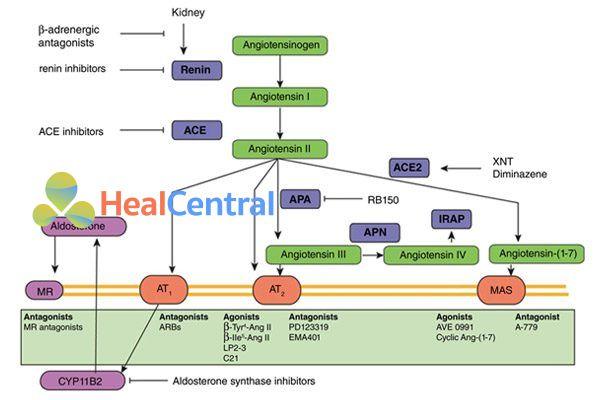 Các thuốc tác động trên hệ RAA.