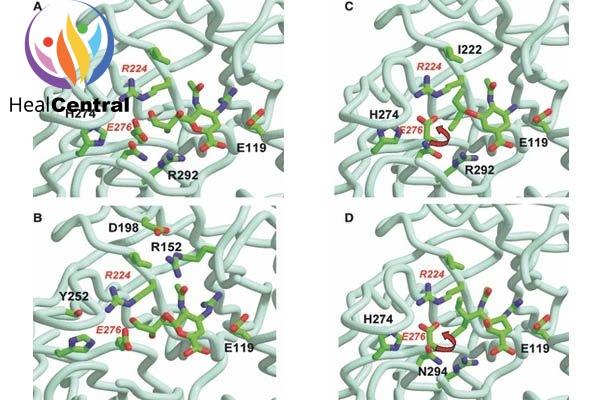 Cấu trúc của neurominidase N9 liên kết với chất ức chế (A,B) zanamivir (PDB NNC), (C) oseltamivir (PDB QWK), (D) peramivir (PDB IL7F)