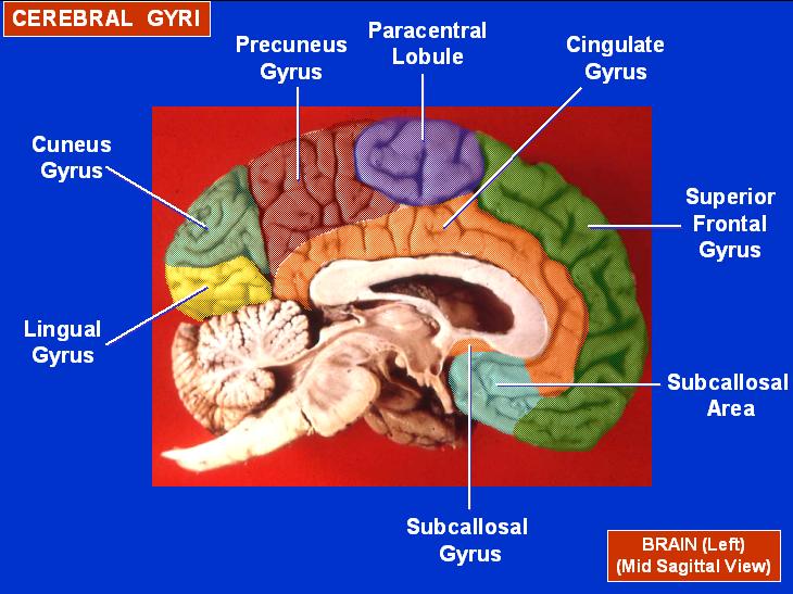Map of Gryi of human left hemisphere.