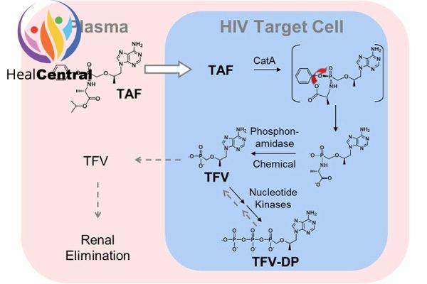 Chuyển hóa TAF trong tế bào đích của HIV.