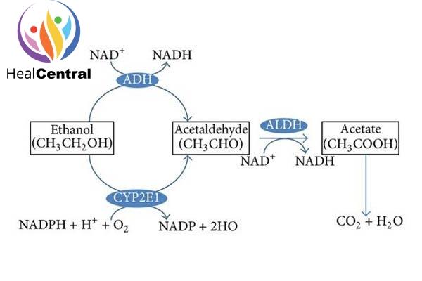 Chuyển hóa ethanol trong cơ thể