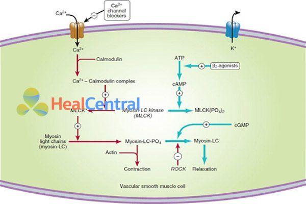 Cơ chế tác dụng của thuốc chẹn kênh calci (trái) và thuốc chủ vận β2 (phải) trong gây giãn cơ trơn mạch máu.