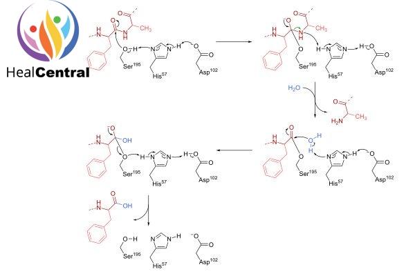 Cơ chế phản ứng xúc tác của alphachymotrypsin.