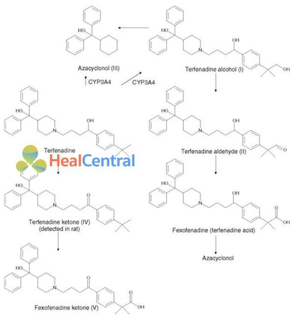 Các con đường chuyển hóa terfenadine trong cơ thể.