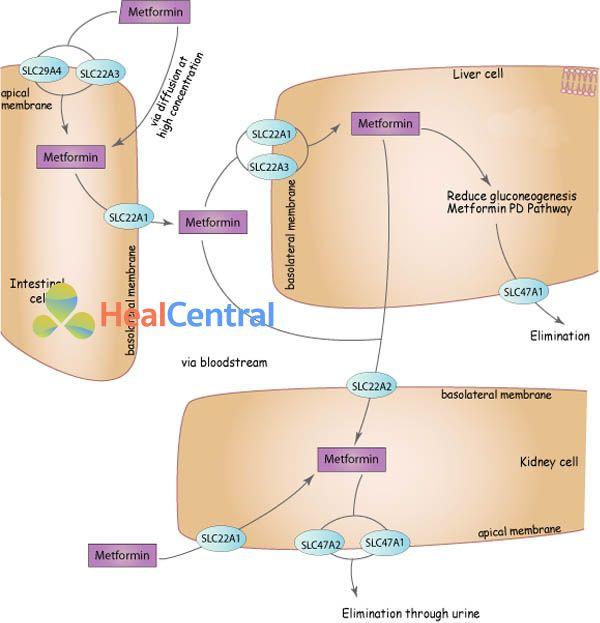 Con đường dược động học của metformin. SLC29A4, SLC22A3, SLC22A1, SLC47A1, SLC22A2, SLC47A2: Các gen liên quan đến vận chuyển metformin xuyên màng.