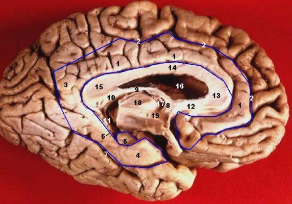 Human brain inferior medial