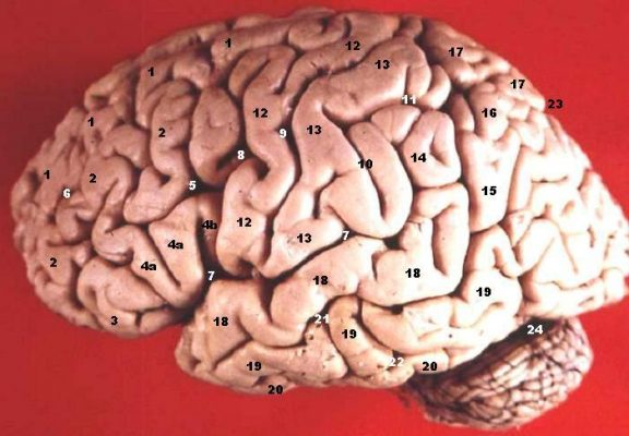 Human Brain Lateral