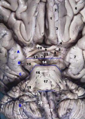 Human Brainstem Anterior