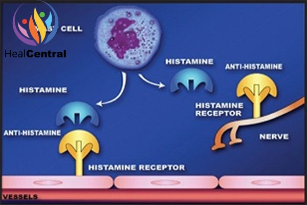 Thuốc kháng histamine H1 liên kết với thụ thể H1 làm mất tác dụng của histamine.