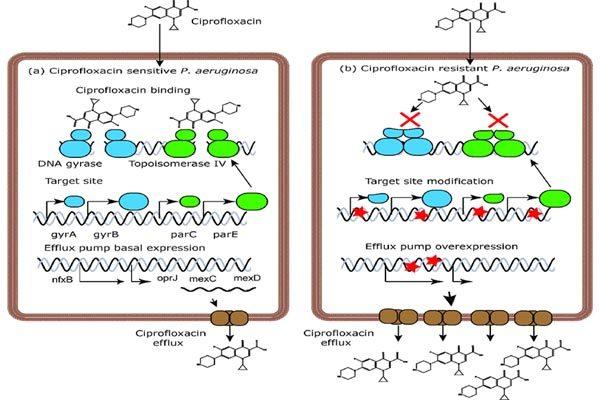 Cơ chế hoạt động của ciprofloxacin và đề kháng của Pseudomonas aeruginosa.