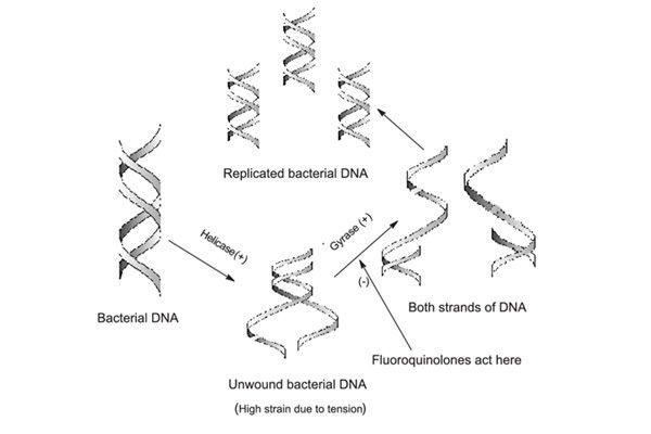 cơ chế tác dụng chung của kháng sinh nhóm quinolon