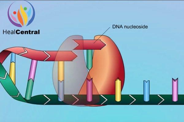 Minh họa enzym RT đang lắp ghép các dNTP (deoxynucleoside triphosphate)
