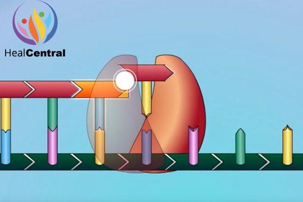 Minh họa quá trình tổng hợp chuỗi polynucleotide bị dừng lại.