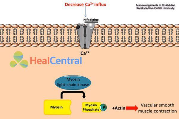 Tác dụng của nifedipine lên cơ trơn mạch máu