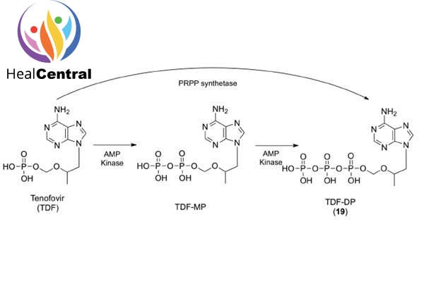 Quá trình tenofovir phosphoryl hóa 2 lần để tạo thành tenofovir diphosphate