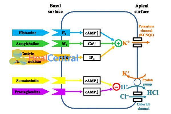 Các chất kích thích và ức chế bài tiết acid dạ dày.