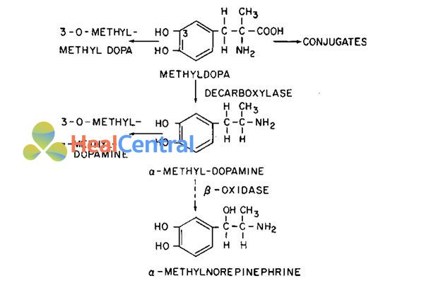 Các con đường chuyển hóa methyldopa.
