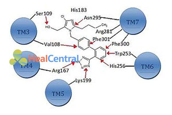 Các vị trí của losartan tạo liên kết với thụ thể AT1.
