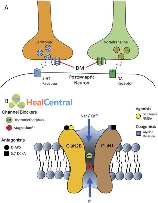 Các vị trí tác động của dextromethorphan và dextrorphan