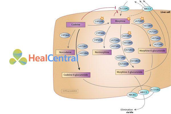 Chuyển hóa codeine trong tế bào gan
