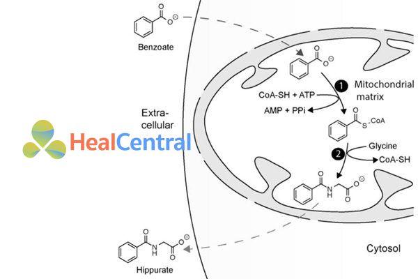 Chuyển hóa natri benzoate trong ti thể