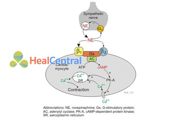 Cơ chế gây co cơ tim của noradrenaine