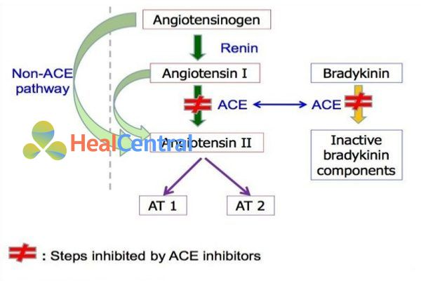 Cơ chế tác dụng của ACEIs.