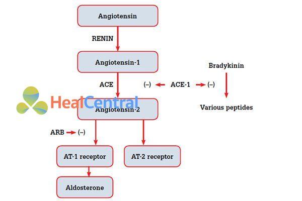 Cơ chế tác dụng của ACEIs và ARBs.