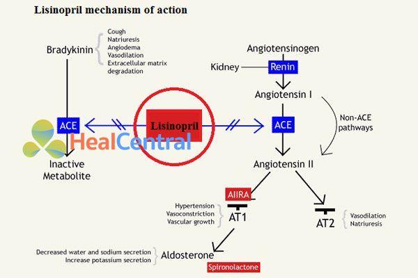 Cơ chế tác dụng của lisinopril.