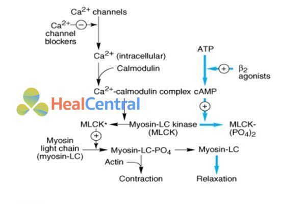Cơ chế tác dụng của thuốc chẹn kênh calci và thuốc chủ vận β2 trên cơ trơn mạch máu.