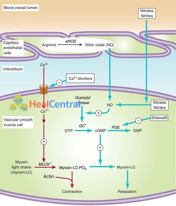 Cơ chế tác dụng của thuốc chẹn kênh calci và một số thuốc khác trên cơ trơn mạch máu.