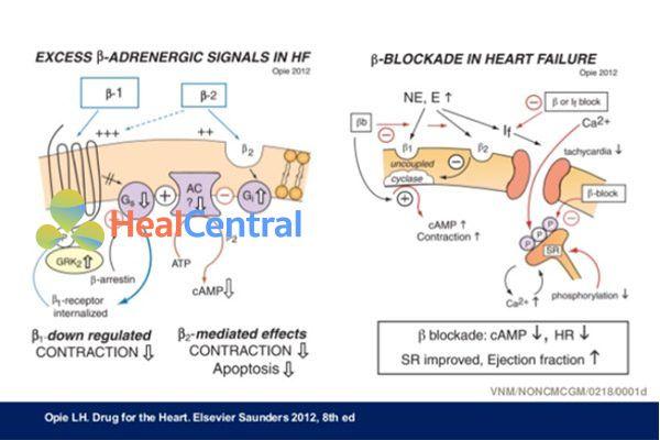 Cơ chế tác dụng thuốc chẹn β trong suy tim.