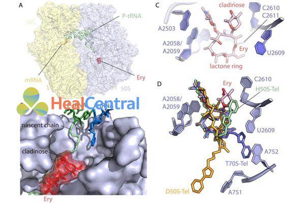 (A) Erythromycin gắn với ribosome 50S của E.coli. (B) Cận cảnh vị trí liên kết của erythromycin với P‐site peptidyl‐tARN (xanh lá cây) và A‐site tRNA (xanh da trời). (C) Túi liên kết với erythromycin của ribosome của 50S E.coli liên kề với các base A2058, A2059, A2503 và U2609. Đường desosamine của erythromycin ở vị trí 5 của vòng lacton chứa nhóm dimethyl amine tạo ra liên kết chốt với base A2058. (D) Sự chồng chất của telithromycin liên kết với các ribosome từ các loài khác nhau. Tất cả các cấu trúc của telithromycin liên kết với ribosome được căn chỉnh dựa trên domain V của rARN 23S. Mặc dù các vòng lactone gần như khớp hoàn hảo trong mọi trường hợp, vị trí của các nhóm alkyl-aryl khác nhau đáng kể tùy loài. Haloarcula marismortui (xanh lá cây), D.radiodurans (cam) và T.thermophilus (xanh da trời)
