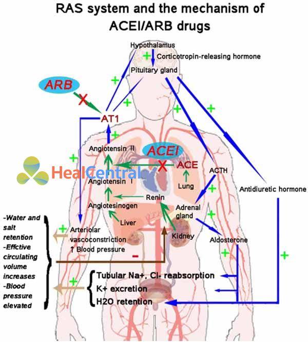 Hệ RAA và vị trí tác dụng của ARBs.