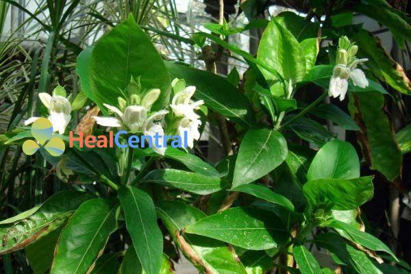 Hoa của loài Adhatoda vasica.