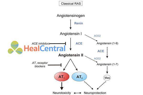 Quá trình đi từ angiotensinogen đến angiotensin II và vi trí các thuốc ức chế hệ RAA.