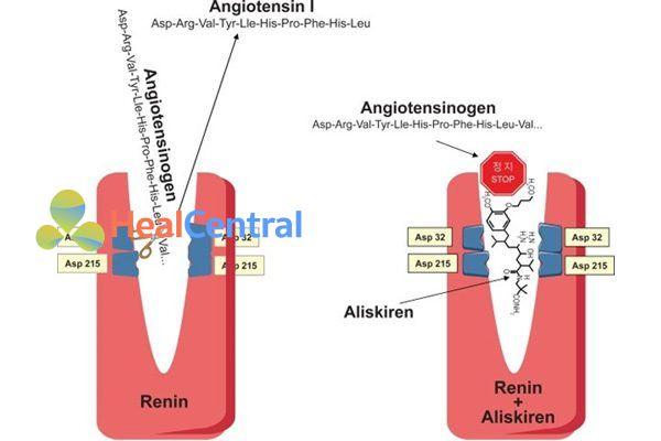 Renin xúc tác chuyển angiotensinogen thành angiotensin I. Phải: Aliskiren liên kết với renin, chiếm vị trí của angiotensinogen.