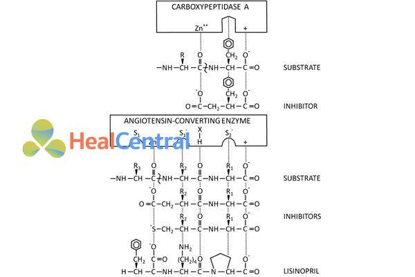 Sự tương đồng trong cấu trúc của cơ chất của men ACE (angiotensin I) với cấu trúc của các thuốc ACEIs.