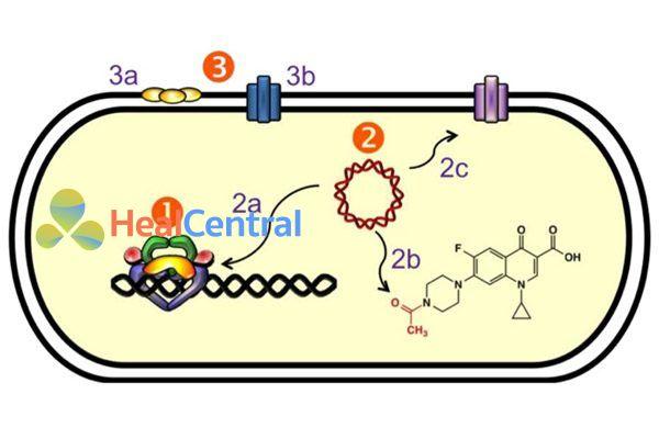 Tóm tắt cơ chế đề kháng của vi khuẩn với quinolone. (1) Đột biến đích tác dụng của kháng sinh là DNA gyrase và Topoisomerase IV. (2) Kháng qua trung gian plasmide. (2a) Protein Qnr (vàng) bảo vệ phức hợp enzyme và giảm khả năng gắn của các quinolones. (2b) Biến đổi cấu trúc (acetyl hóa) chính kháng sinh. (2c) Hoạt hóa bơm tống thuốc làm giảm nồng độ các quinolone trong tế bào. (3) Kháng qua trung gian nhiễm sắc thể. (3a) Sự thiếu sót ở các kênh porin làm giảm hấp thu thuốc. (3b) Sự biểu hiện quá mức của các bơm tống thuốc.