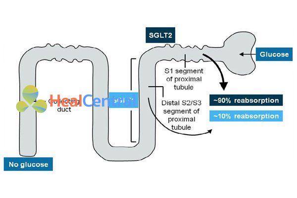 Vị trí của SGLT1 và SGLT2 trong tái hấp thu glucose.
