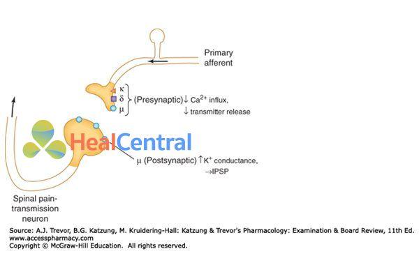Vị trí của receptor µ