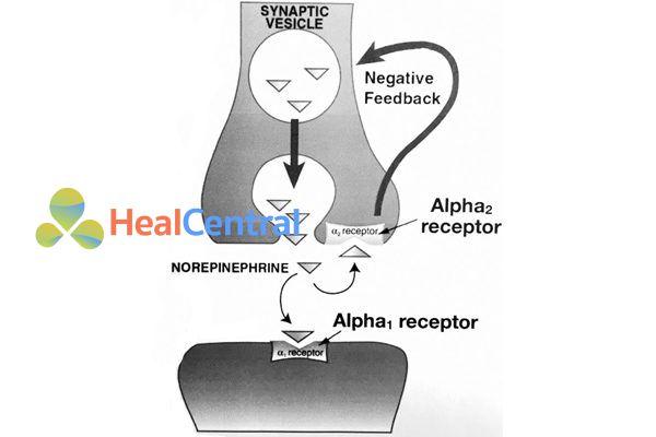 Vị trí của thụ thể α2 ở màng trước synap. Kích thích thụ thể này làm giải phóng chất dẫn truyền thần kinh (noradrenaline) từ bọc dự trữ.