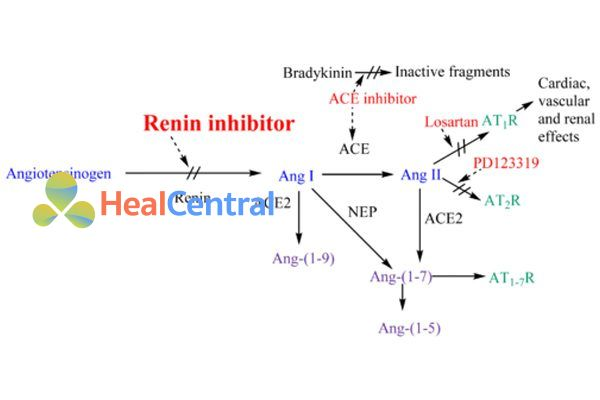 Vị trí tác động các thuốc ức chế hệ RAA.
