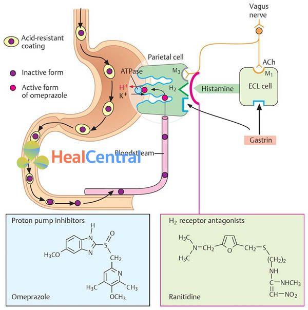 Vị trí tác dụng của PPI (omeprazole) và thuốc kháng histamine H2 (ranitidine).