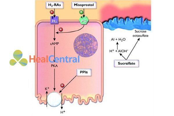Vị trí tác dụng của một số thuốc: Kháng histamine H2, thuốc ức chế bơm proton (PPI), misoprostol và sucralfate.