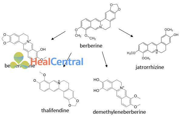 Chuyển hóa Berberin