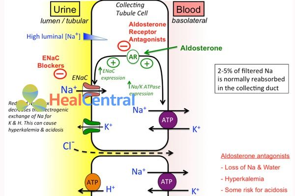 Cơ chế tác dụng lợi tiểu kháng aldosteron