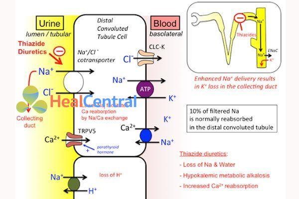 Cơ chế tác dụng lợi tiểu thiazid