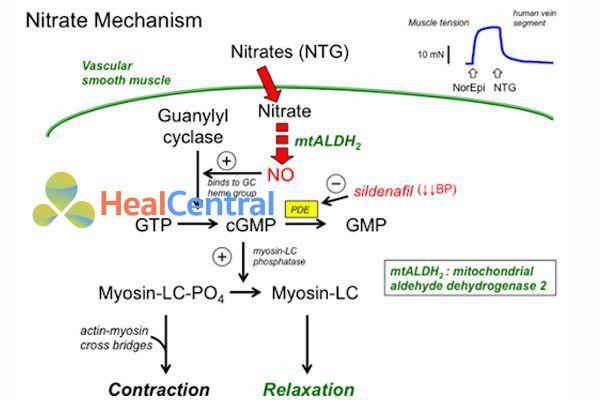 Cơ chế tác dụng của nitrat hữu cơ
