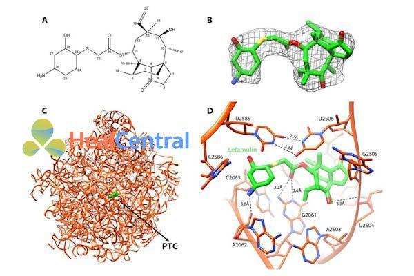 Mô tả cơ chế tác dụng của lefamulin